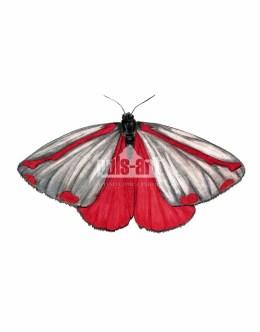 Proporzyca marzymłódka (Tyria jacobaeae)