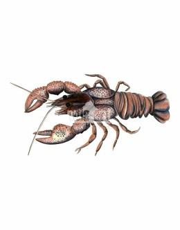 Rak błotny (Astacus leptodactylus)