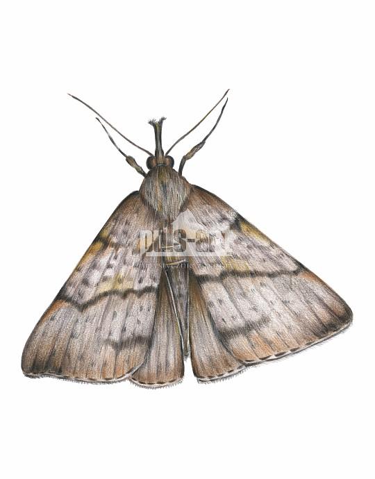 Rozszczepka śnicianka (Hypena proboscidalis)