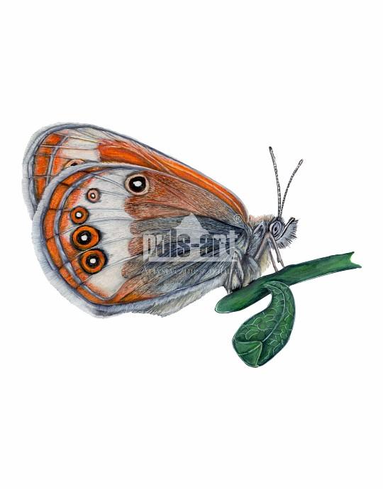 Strzępotek perełkowiec (Coenonympha arcania)