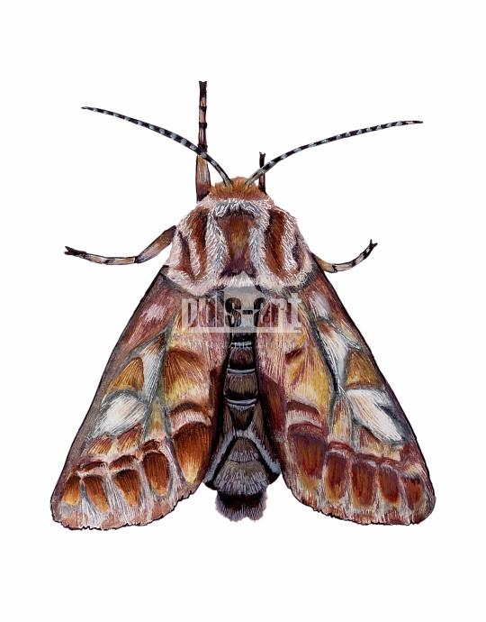 Strzygonia choinówka (Panolis flammea)
