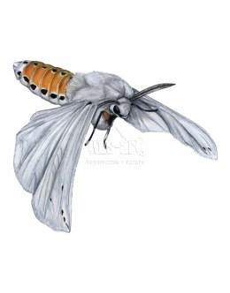Szewnica miętówka (Spilosoma lubricipeda)