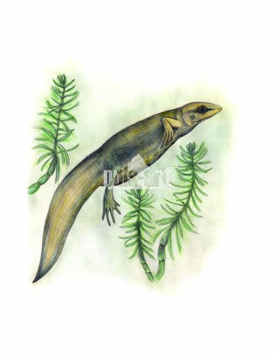 Traszka zwyczajna (Lissotriton vulgaris)