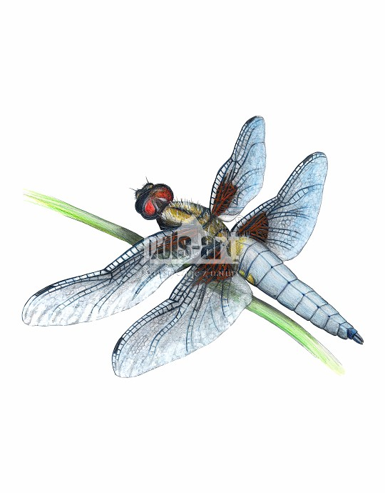 Ważka płaskobrzucha (Libellula depressa)