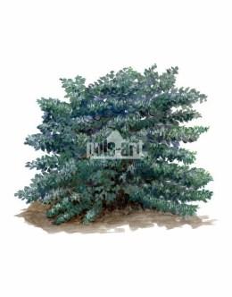 Wiciokrzew pospolity (Lonicera xylosteum)