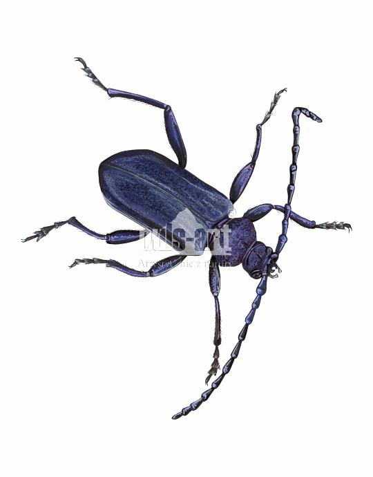 Zagwozdnik fiołkowy (Callidium violaceum)