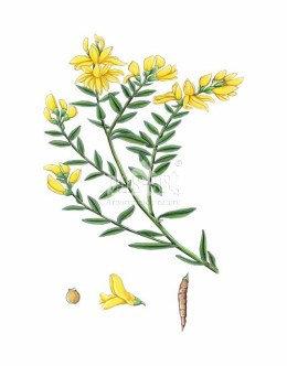 Żarnowiec miotlasty (Cytisus scoparius)