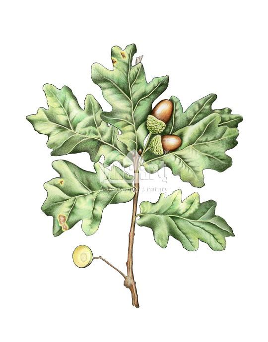 Dąb szypułkowy (Quercus robur) - liść