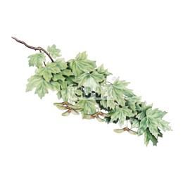 Klon zwyczajny (Acer platanoides)