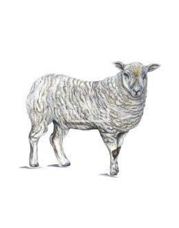 Owca domowa - maciorka