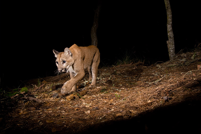 Juvenile Mountain Lion at Night
