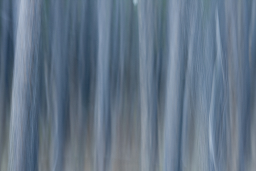 Coniferous Forest Panning Shot