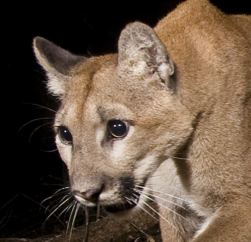 Juvenile Mountain Lion at Night-Sebastian Kennerknecht - Close-up