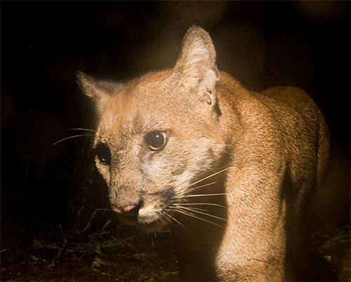 Mountain Lion at Night-Sebastian Kennerknecht-Close up
