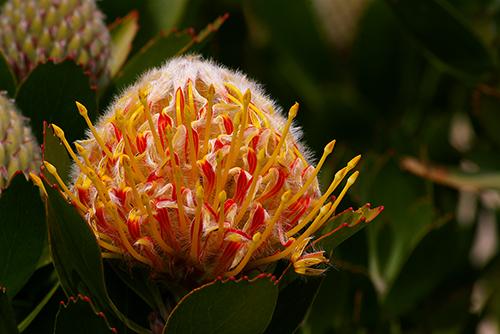 Pincushion (Leucospermum sp), UCSC Arboretum, Santa Cruz, California