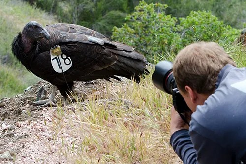 California Condor and me photographing it - Copyright Jeff Swanson