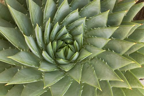 Spiral Aloe (Aloe polyphylla), UCSC Arboretum, Santa Cruz, California