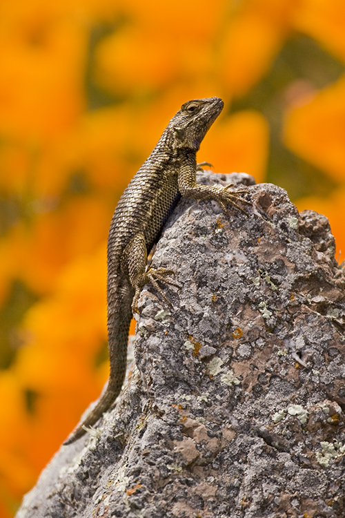Western Fence Lizard and California Poppies