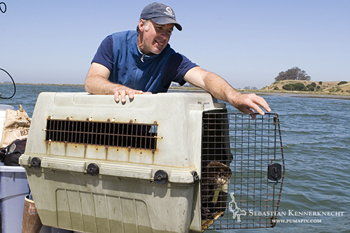 Karl Mayer releasing Sea Otter, Elkhorn Slough, California