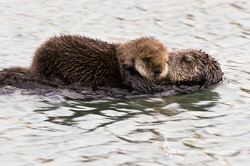 Sea Otter mother carrying pup, Moss Landing, Monterey Bay, California