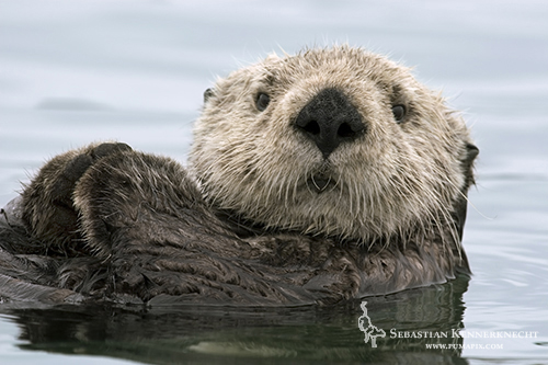 Sea Otter Portrait, Elkhorn Slough, Monterey Bay, California