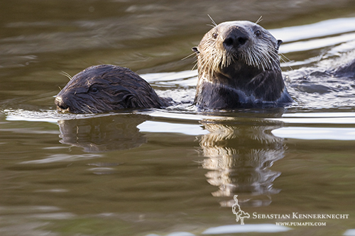 Sea Otter mother and pup swimming, Moss Landing, Monterey Bay, California