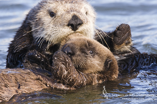 Sea Otter mother and pup, Moss Landing, Monterey Bay, California