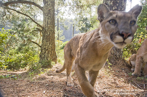 Mountain Lion Pair in Aptos, California