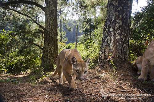 Mountain Lions in Aptos, California Taken: July 13th, 2011 @ 5:34pm