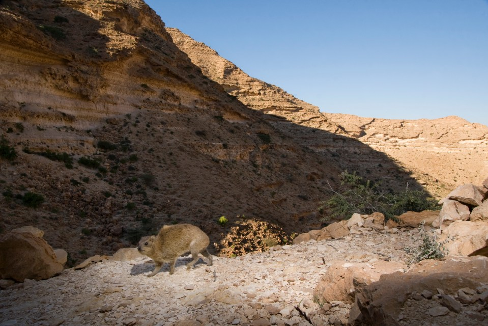 Rock Hyrax (Procavia capensis) in desert valley, Hawf Protected Area, Yemen