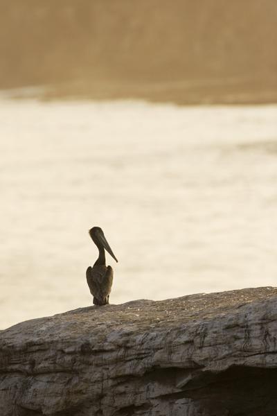 Brown Pelican (Pelecanus occidentalis) juvenile on rock at sunset, Santa Cruz, Monterey Bay, California
