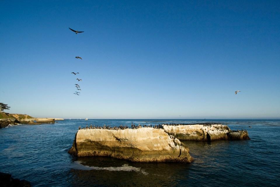 Brown Pelican (Pelecanus occidentalis) group flying along coast, Santa Cruz, Monterey Bay, California