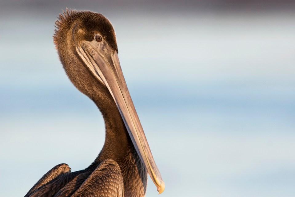 Brown Pelican (Pelecanus occidentalis) juvenile, Santa Cruz, Monterey Bay, California