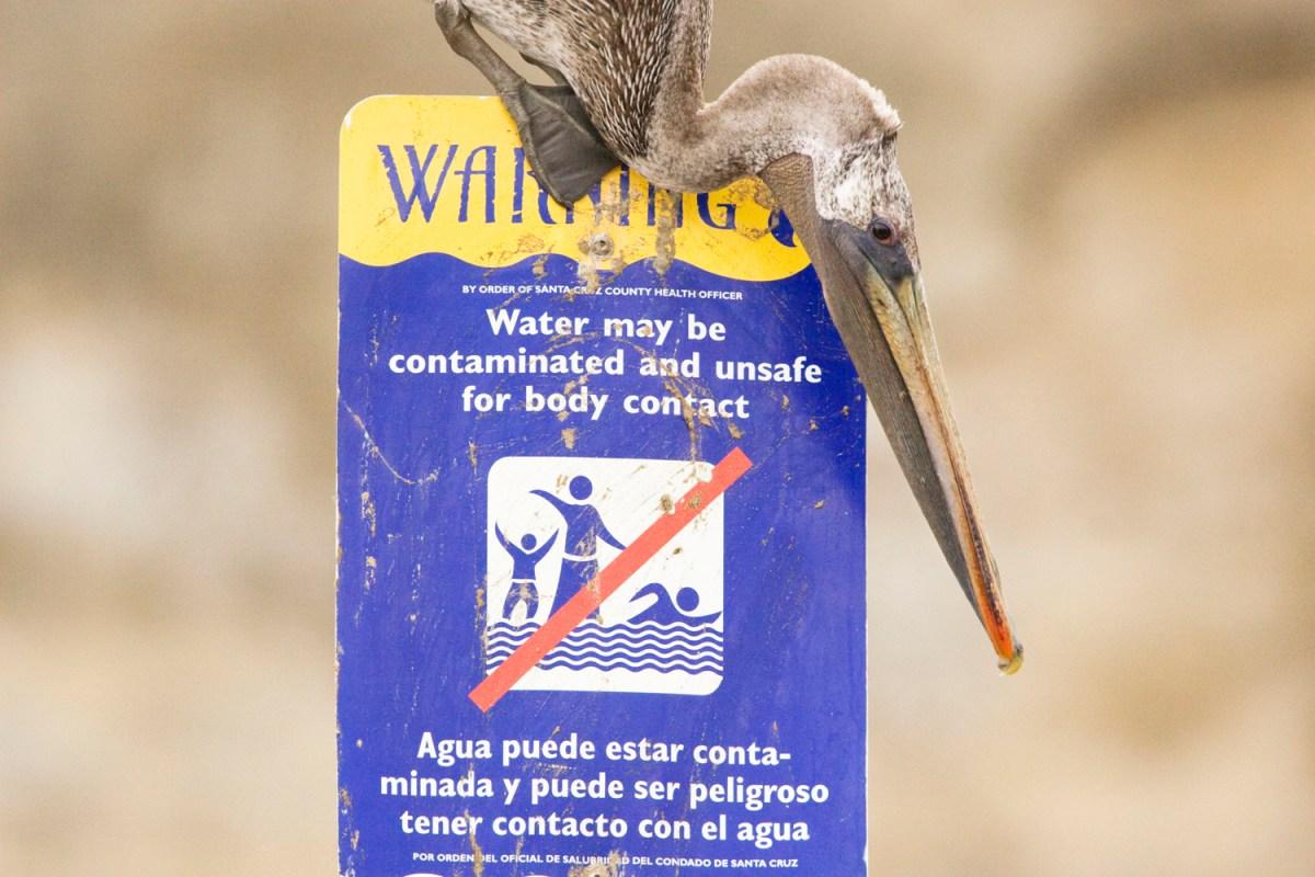Brown Pelican (Pelecanus occidentalis) sub-adult on contaminated water sign, Santa Cruz, Monterey Bay, California