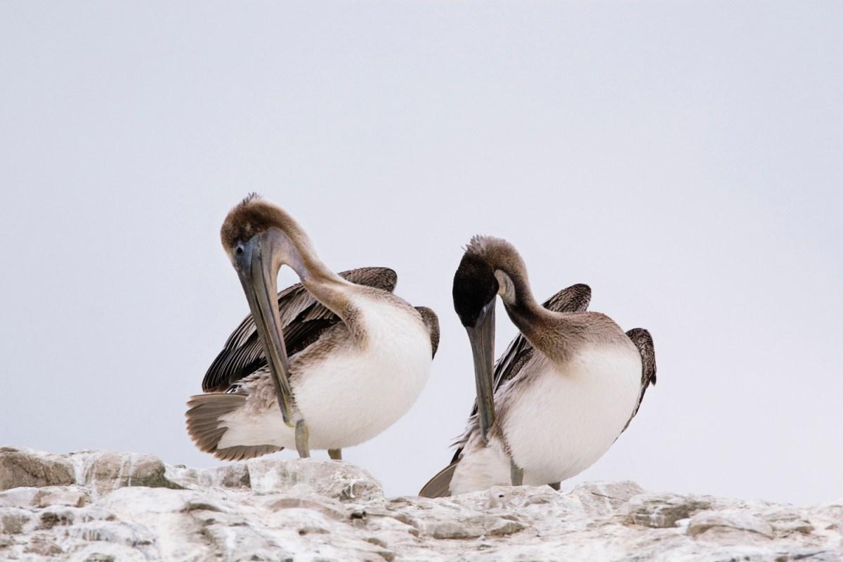 Brown Pelican (Pelecanus occidentalis) juveniles preening, Natural Bridges State Beach, Santa Cruz, Monterey Bay, California
