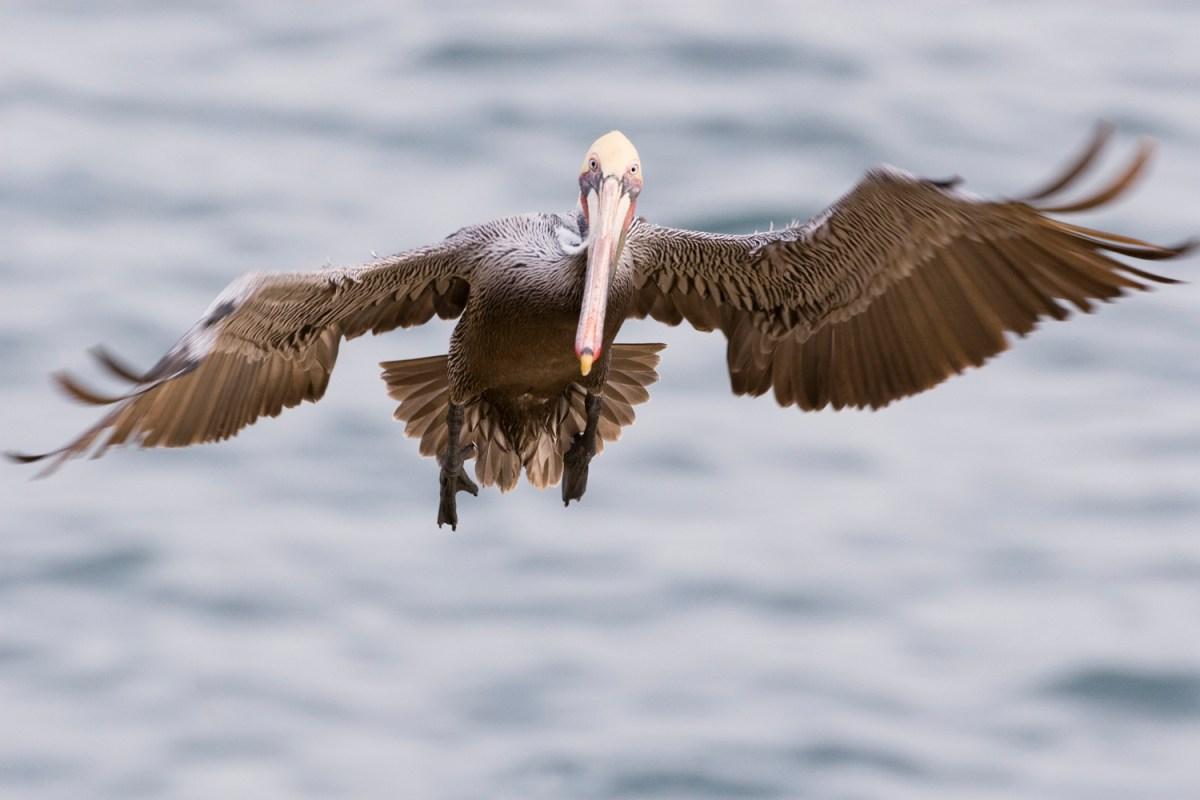 Brown Pelican (Pelecanus occidentalis) landing, La Jolla, San Diego, California