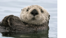 Sea Otter (Enhydra lutris), Elkhorn Slough, Monterey Bay, California