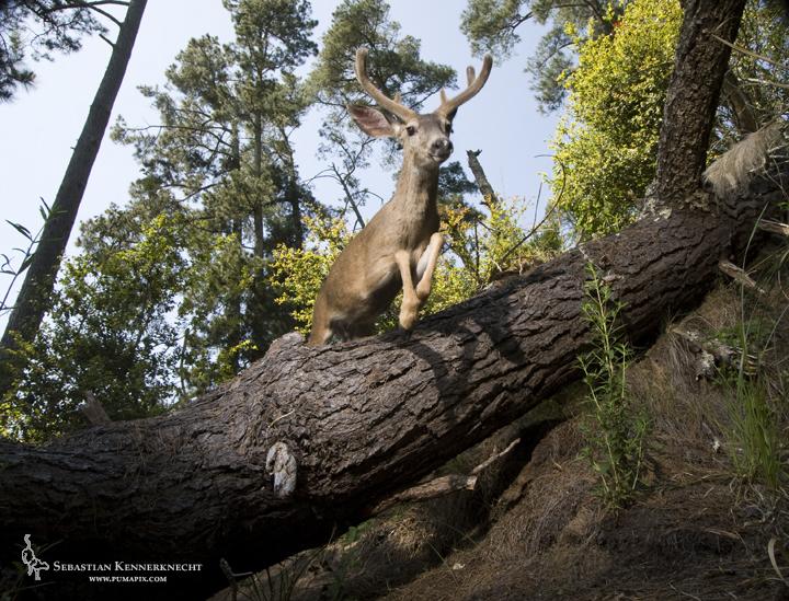 1Sebastian Kennerknecht-Mule Buck Jumping over log-IMG_83533