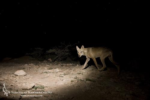 Arabian Wolf (Canis lupus arabs), Hawf Protected Area, Yemen