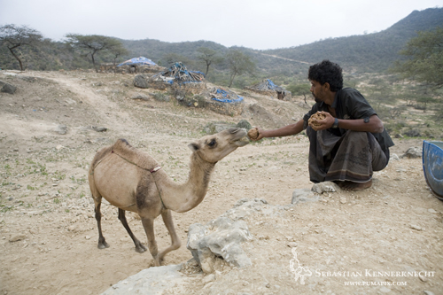 Bedouin feeding Camel ground up sardines, Hawf Protected Area, Yemen