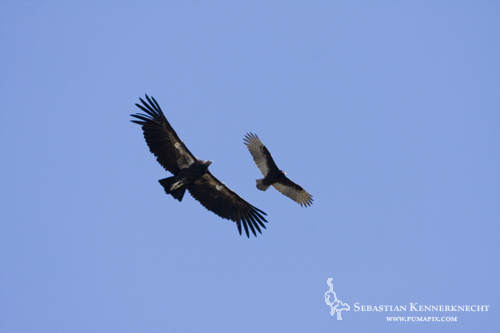 California Condor and Turkey Vulture