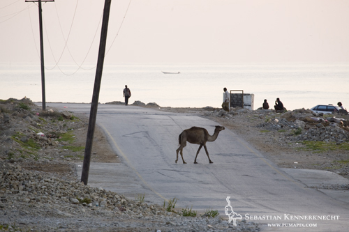 Camel walking across road in Hawf, Hawf Protected Area, Yemen - Yes, this is normal