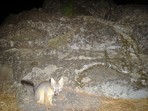 Camera Trap Image: Gray Fox in Sierras - Copyright Jake Kirkland