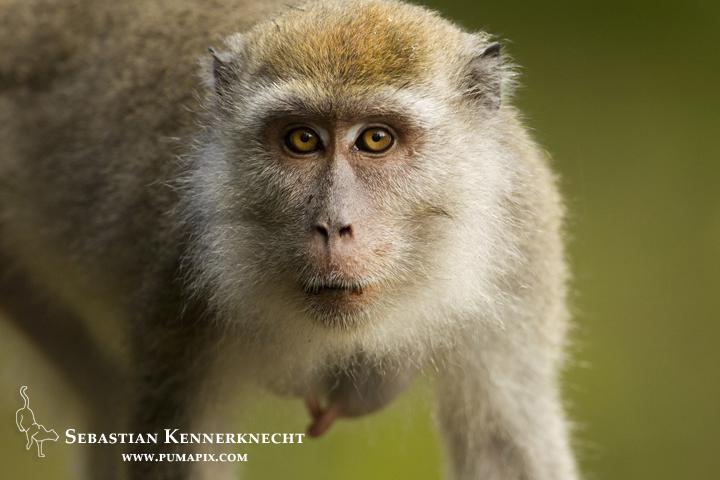 Long-tailed Macaque (Macaca fascicularis) female, Tawau Hills Park, Sabah, Borneo, Malaysia