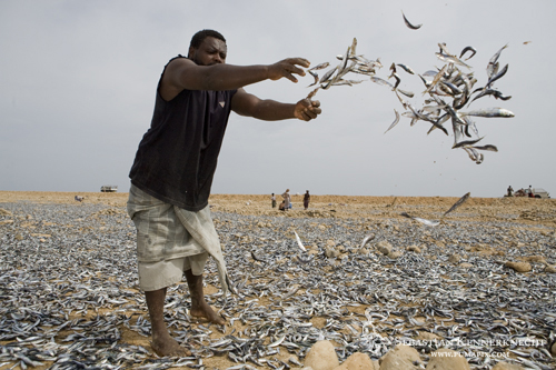 Fisherman tossing sardines for drying, to be used as Camel food, Hawf Protected Area, Yemen