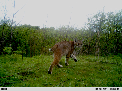 Camera Trap Image: Bobcat - Copyright Christian Naventi
