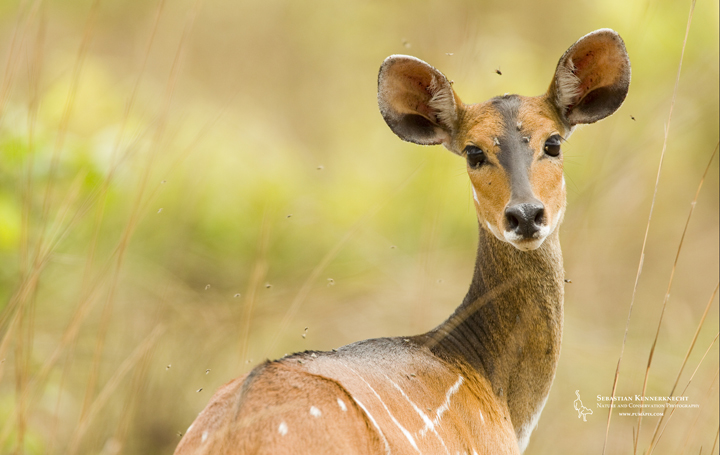 Bushbuck female, Lope National Park, Gabon