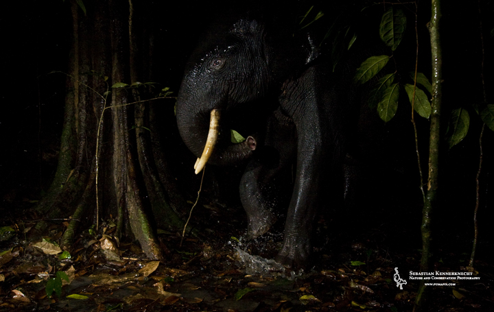 African Forest Elephant (Loxodonta cyclotis) stepping into puddle at night, Lope National Park, Gabon