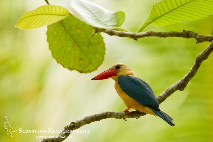 Stork-billed Kingfisher (Pelargopsis capensis), Tawau Hills Park, Sabah, Borneo, Malaysia