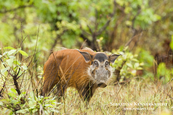 Red River Hog (Potamochoerus porcus) male, Lope National Park, Gabon